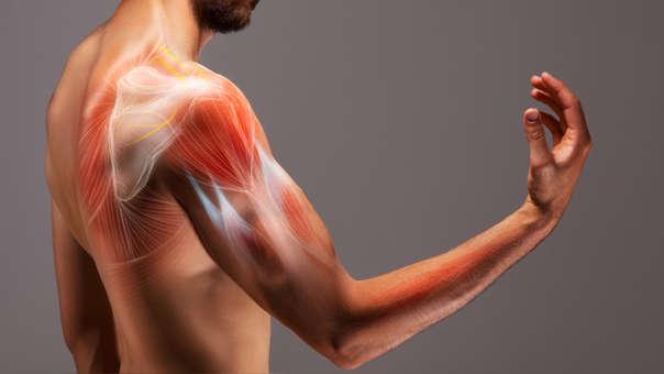 Musculatura del hombro